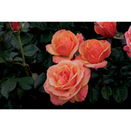 Downton Abbey Rose Bush - Anna's Promise with Free Flower Show Tote